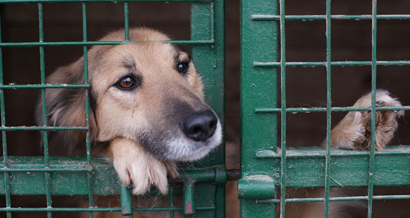 A dog pushes his face through an opening in his cage and gazes intently, displaying the readiness for bonding of shelter dogs to humans.